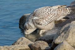 Taking a sip (CharlesHastings) Tags: wildlife owl winter nature birds birdsofprey buboscandiacus ontario canada