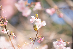 _DSC0776.jpg (plasticskin2001) Tags: mejiro sakura flower bird