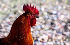 El gallo (Peideluo) Tags: animals bokeh red free