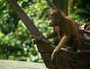 Curious young orangutan (Xnalanx) Tags: activity ape asia borneo eating malaysia mammals orangutan places sandakan sepilokorangutanrehabilitationcentre wildlife