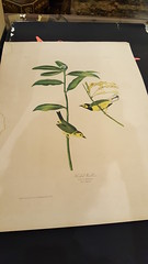 """AUDUBON PRINT FROM BIEN EDITION, HOODED WARBLER. • <a style=""""font-size:0.8em;"""" href=""""http://www.flickr.com/photos/51721355@N02/24758400817/"""" target=""""_blank"""">View on Flickr</a>"""