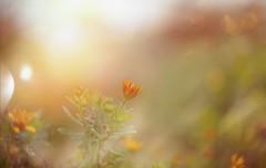 A January Flower.. (KissThePixel) Tags: january light sunlight sun sunset sunsetbokeh garden flower orange orangeflower bokeh beauty simplebeauty winter winterlight macro nikon nikondf 50mm nikkor nikkor12 f12 gold artist