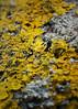 Lichen (nickcoates74) Tags: a6300 alpha art artlens beach ilce6300 lancashire sefton sigma30mm sony southport 30mmf28dn macro uk lichen