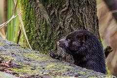 Mink (iantaylor19) Tags: warwickshire wildlife trust brandon marsh mink