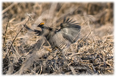 Greater prairie chicken dancing (Brian Kermath (e.h.designs)) Tags: birds bird prairiechicken dancing grasslandbird grass chickendance lek greaterprairiechicken chicken