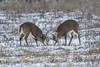 White Tail Bucks sparing (a56jewell) Tags: a56jewell bucks whitetail jan winter london two field outside