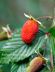 Rubus fraxinifolius from Mt Kinabalu, Sabah (Wonder Kitsune) Tags: rubus rubusfraxinifolius floraofmalaysia floraofborneo floraofsabah sabah borneo mtkinabalu montane montaneforests ediblefruit edibleplant edible rosaceae
