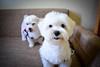 Amo demais! <3 (PsycheRed) Tags: dogs puppies puppy white maltese love friends nikon cão cachorro filhote maltês