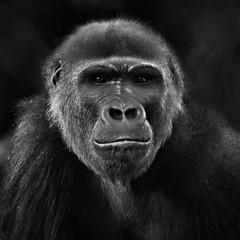 I Am Gorilla (Christina's World-) Tags: animal wildanimal gorilla naturepreserve nature bw blackandwhite monochrome safaripark impressionistic portrait california dramatic dark exotic eyes female mother national geographic wildlife nationalgeographicwildlife coth5