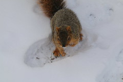 Snowy Squirrels in Ann Arbor at the University of Michigan  (January 30th, 2018) (cseeman) Tags: gobluesquirrels squirrels annarbor michigan animal campus universityofmichigan umsquirrels01302018 winter eating peanut januaryumsquirrel snow snowy