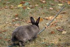 Toki (Tjflex2) Tags: bunny rabbit lapin lagomorpha lagomorph conejo