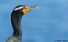 Double-crested Cormorant (Phalacrocorax auritus) - La Jolla, CA (bcbirdergirl) Tags: lajollacove lajollacliffs doublecrestedcormorant ca us usa california sandiegocounty sandiego breedingplumage breeding portrait phalacrocoraxauritus cormorant