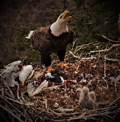 The Noble Provider (XOXO for kind comments and awards!!) (Wayne Norman) Tags: nest americaneagle baldeagle raptor eagle bird wildlife waynenorman insearchoflight cuckoldscove nestingeagles youngeagles food foodonnest providing providingfood thelooklevel1red thelooklevel2yellow theamericandreamalabama theamericandreamalaska damncoolphotographersintheworld sjohnsonsfauna avianwonders birdsbirdsonlybirds blogit magicofphotography vivelaresistance cherishyourdreamsandvisions dmslair amoreperlanatura photoknowhowl1 photoknowhowl2 photoknowhowlevel3 theamericandreamarkansas thelooklevel3orange photoknowhowlevel04 photoknowhow05 thelooklevel4purple photoknowhowl6 thelooklevel5green