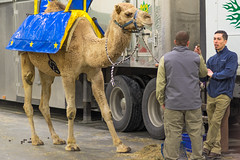 Talking Shop (or shooting the shit?) (Chancy Rendezvous) Tags: camel carnival circus animal work shop truck listeningskills hump humpday tires wheels men workers candid conversation talking poop crap