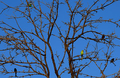 On the third day of Christmas .....  parrots in a Bare Tree !!  Zooming in gives a nice close up of the birds (Sriini) Tags: sundaylights indian drongo bird mynas starling parrots rose ringed parakeet bare onthethirddayofchristmas letroisièmejourdenoël eltercerdíadenavidad nikon nikkor