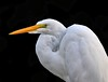 Great Egret (Darts5) Tags: greategret egret egrets bird birds wadingbird wading whitebird whiteheron whiteegret 7d2 7dmarkll 7dmarkii 7d2canon ef100400mmlll closeup canon7d2 canon7dmarkll canon7dmarkii canon canonef100400mmlii upclose