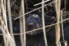 In hiding (roger_forster) Tags: arvicolaamphibius watervole titchfieldhaven hillhead fareham hampshire wild mammal