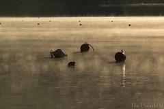 Piediluco - Terni (roibenedetti) Tags: piediluco folaghe terni alba boe lago inverno bendetti roi nikon oro 70200 d7200