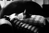 Watching TV (Jean Boris HAMON) Tags: fav25 animal armchair bestiary blueparadise cat colors corsica fe1004004556gmoss france livingroom menupomme prunellidicasaconi sonya7rmkiii prunellidicasacconi corse fr fav10
