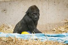 2018-02-20-11h16m30.BL7R0033 (A.J. Haverkamp) Tags: canonef100400mmf4556lisiiusmlens yanga amsterdam noordholland netherlands zoo dierentuin httpwwwartisnl artis thenetherlands gorilla dob29102016 pobhannovergermany nl