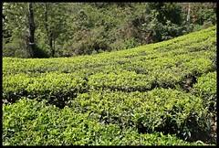 Tea and Forest (Indianature st2i) Tags: valparai anamalais anamallais anamalaitigerreserve westernghats tea shola rainforest nature indianature 2018 january february tamilnadu india life wildlife plantation forest people estate
