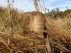 Chinese Mantis Egg Case