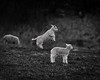 Sneak Attack (Ian Livesey) Tags: silverdale lambs lancashire cute donteat animals farming farms uk bw photography
