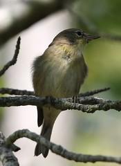 Pine Warbler (Setophaga pinus) 09-25-2017 Deal Island WMA--Riley Roberts Road, Somerset Co. MD 2 (Birder20714) Tags: birds maryland warblers parulidae setophaga pinus
