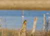 Martin-pêcheur femelle (Philippe Renauld) Tags: martinpêcheur femelle domainedesoiseaux étang poteau calmont occitanie france fr