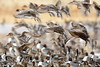 Northern Pintails (dpsager) Tags: bird birds bosquedelapache bosquedelapachenationalwildliferefuge dpsagerphotograph newmexico northernpintail socorrocounty ducks
