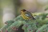 Cape May Warbler (Joe Branco) Tags: ontario canada capemaywarbler nikond500 nikon photoshopcc2018 joebrancophotography branco joe birds wildlife green