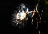 Asclépiades (MichelGuérin) Tags: 2017 canada exterior extérieur fleur flower lightroomcc michelguérin nature nikon nikonafsnikkor200500mmf56eedvr nikond500 qc québec refugefauniquemargueritedyouville asclépiades châteauguay ca