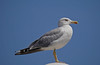 Yellow legged gull (Matt C68) Tags: nature wildlife calan bosch calanbosch menorca balearic island spain larusmichahellis yellowleggedgull gull seagull bird 7dwf