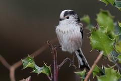 Long-tailed Tit-204 (davidgardiner8) Tags: birds eastsussex garden longtailedtit tits
