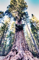 Mighty sequoia (Holly Calinsky Jauch) Tags: redwoods california trees calaverascounty arnold sequoia bigtreesstatepark sierranevada