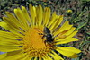 Megachile ♀ on Grindelia (TJ Gehling) Tags: insect hymenoptera bee megachilidae leafcutterbee megachile planr flower asterales asteraceae grindelia communitygarden fairmontpark centennialpark elcerrito