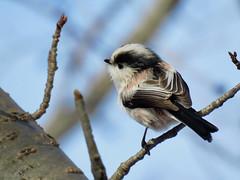 Long-tailed tit (jubewakayama) Tags: bird tit aegithalos caudatus long tailed birding smallbird chickadee bushtit nature tree cherry