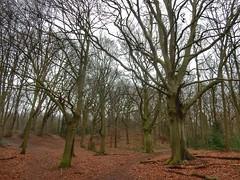 Winter Forest (sander_sloots) Tags: beukenhorst wassenaar forest park trees bomen beuken boom tree leaves dode bladeren fagussylvatica european beech dunes duinen