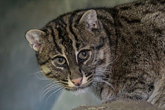Fishing cat (K.Verhulst) Tags: fishingcat vissendekat kat cats cat blijdorp blijdorpzoo diergaardeblijdorp rotterdam
