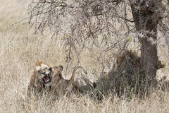 Dad is Tired of Playing Now (Michael Zahra) Tags: africa african safari landscape wildlife nature travel tourism conservation outdoors tree acacia adventure mammal animal lion family cub lioness shade play
