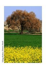 Colors of Punjab !! (C@MARADERIE) Tags: colorful colorsofpunjab autumn autumnalscene mustard green yellow vertical nopeople punjab pakistan rural