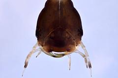 Dytiscidae larva (mr.sansibar) Tags: focusstacking olympusbh2 photomicrography microscopy heliconfocus polarizedlight larva dytiscidae divingbeetle