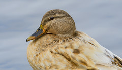 Mallard (jt893x) Tags: 150600mm bird d500 duck female hen jt893x mallard nikon nikond500 portrait profile sigma sigma150600mmf563dgoshsms alittlebeauty coth thesunshinegroup