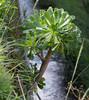 Aeonium arboreum , NGIDn1872478470 (naturgucker.de) Tags: ngidn1872478470 naturguckerde aeoniumarboreum vallegranrey lagomera cursulagoenner