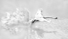 Mute Swan in Action (adrians_art) Tags: action nature swans birds flight wings movement wildlife water rivers wet reflections monochrome mono bw blackandwhite light dark silhouettes shadows minimalistic minimalism