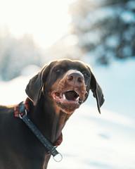 Demi Laughing (@phanttoni) Tags: dog dobermann outdoor winter snow demi cute beautiful animal 16th digital photoshop lightroom zeiss 55mm f18 finland sony a7 ilce7 sun light forest bokeh