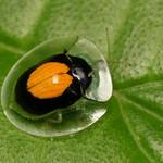 Tortoise beetle, Plagiometriona vesiculifera, Cassidinae thumbnail