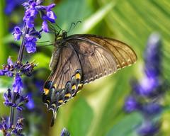 EasternBlackSwallowTail_SAF0258_DxO (sara97) Tags: easternblackswallowtail butterfly insect papiliopolyxenes obysaraannefinke saintlouis missouri towergrovepark copyright©2017saraannefinke