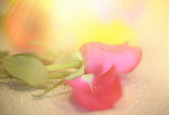 The Fallen.. (KissThePixel) Tags: sunlight sun sunbeam nikon nikondf aperture primelens rose pinkrose flower pinkflower pink bokeh pastel macro soft softbokeh beauty beautiful art artistic tabletop tabletopphotography stilllife stilllifephotography fineart petal petals