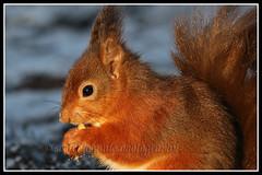 IMG_0069 Red Squirrel (Scotchjohnnie) Tags: redsquirrel sciurusvulgaris rodent mammal squirrel squirrelphotography wildanimal wildlife wildlifephotography wildandfree nature naturephotography naturewildlifeandbirds northeastengland canon canoneos canon7dmkii canonef100400f4556lisiiusm scotchjohnnie closeup portrait